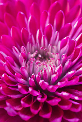 Deep Pink Chrysanthemum Art Print