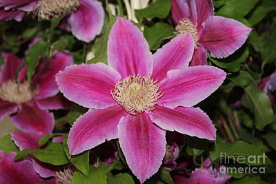 Photograph - Deep Pink Clematis by David Grant