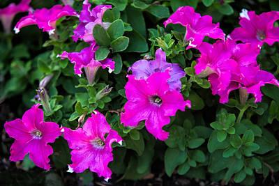 Deep Pink Ruffled Star Flowers Original by Linda Phelps