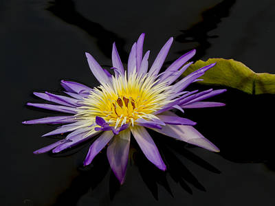 Photograph - Deep Purple And Yellow Waterlily by Jean Noren