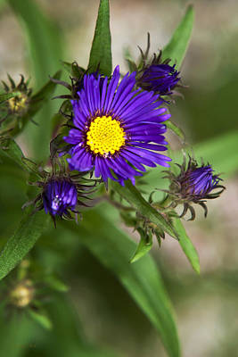 Photograph - Deep Purple Aster Flowers by Christina Rollo