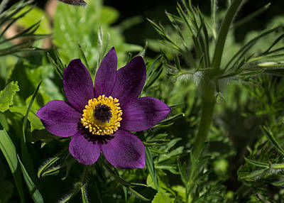 Photograph - Deep Purple Easter Anemone Blossom by Georgia Mizuleva