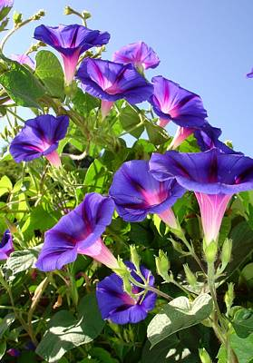 Photograph - Deep Purple Morning Glory Climbing Plant by Tracey Harrington-Simpson