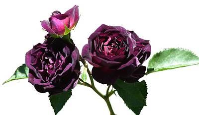 Deep Purple Rose Art Print by Geoffrey McLean
