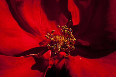 Photograph - Deep Red by Tikvah's Hope