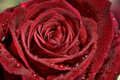 Photograph - Deep Red Rose by Gene Praag