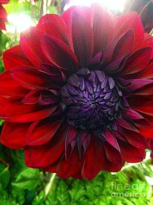 Photograph - Deep Red To Purple Dahlia Flower by Susan Garren