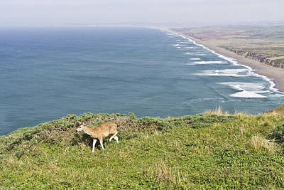 Beach Photograph - Deer At Point Reyes National Seashore by Priya Ghose