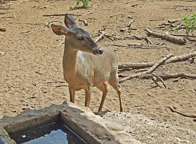 Deer At Waterhole Art Print by Judith Russell-Tooth