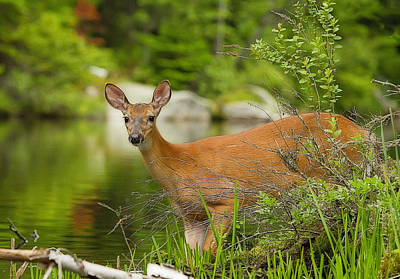 Photograph - Doe At Waters Edge by John Vose