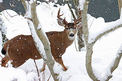 Photograph - Deer Buck In Winter by Peggy Collins