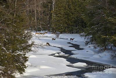 Photograph - Deer Crossing Frozen Blackwater River by Dan Friend