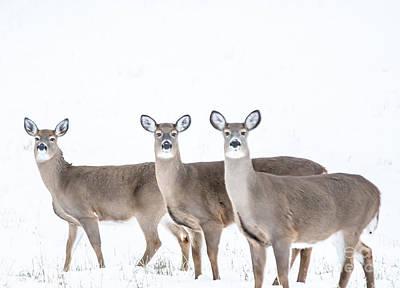 Photograph - Deer Deer Deer by Cheryl Baxter