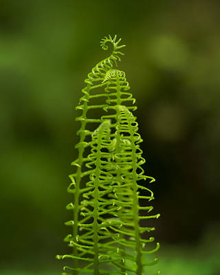 Photograph - Deer Fern Fiddlehead by Jon Ares