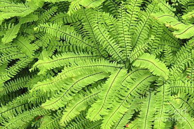 Photograph - Deer Fern by Frank Townsley