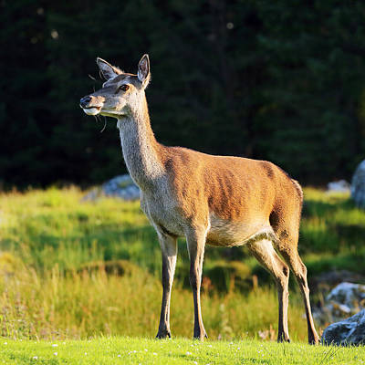Photograph - Deer by Grant Glendinning