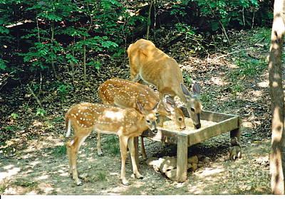 Photograph - Deer Having Dinner by Barbara Plattenburg