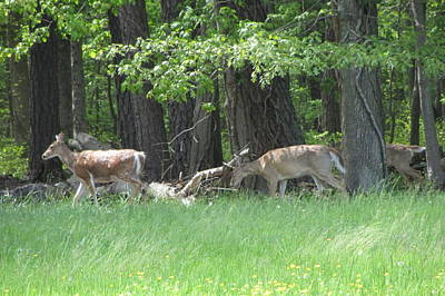 Photograph - Deer In A Group by Debbie Nester