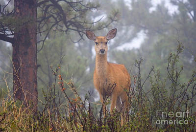 Steven Krull Royalty-Free and Rights-Managed Images - Deer in a mystical foggy forest scene by Steven Krull