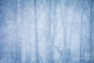 Snowstorm Photograph - Deer In A Snowy Forest by Diane Diederich