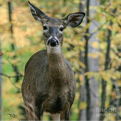 Nikki Vig Royalty-Free and Rights-Managed Images - Deer in Autumn by Nikki Vig