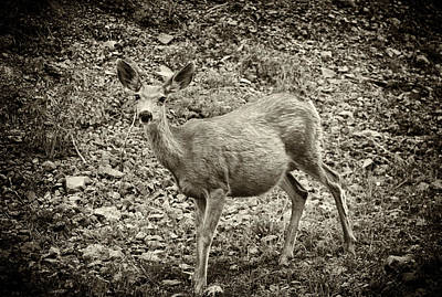 Photograph - Deer In Black And White by Melany Sarafis