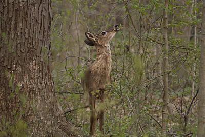 Deer In Frorest Original