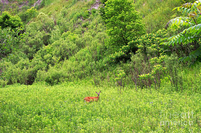 Photograph - Deer In Habitat by Charline Xia