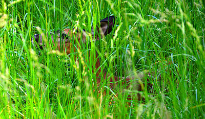 Hiding Photograph - Deer In Tall Grass by David Lee Thompson