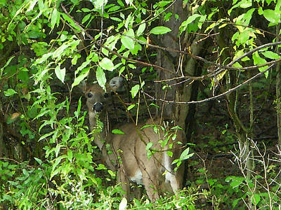 Deer Photograph - Deer In The Bushes by Aimee L Maher Photography and Art Visit ALMGallerydotcom