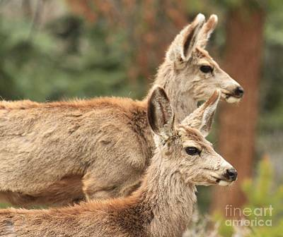 Photograph - Deer In The Rocky Mountains by Adam Jewell