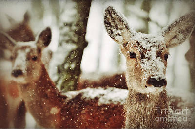 Photograph - Deer In The Snow by Nick  Biemans