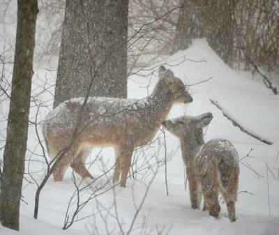 Photograph - Deer In The Snow by Richard Bryce and Family