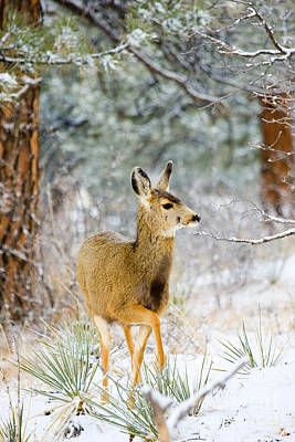 Steven Krull Royalty-Free and Rights-Managed Images - Deer in the Snowy Woods by Steven Krull