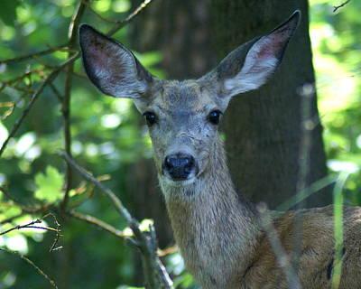 Photograph - Deer In The Woods by Ben Upham III