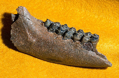Photograph - Deer Jaw And Teeth Fossil by Millard H Sharp
