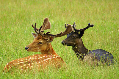 Photograph - Deer Lying In A Field by DerekTXFactor Creative