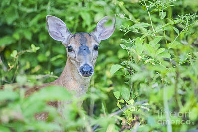 Photograph - Deer Me by Joe McCormack Jr