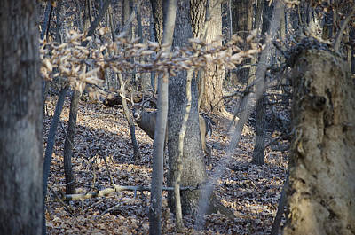Art Print featuring the photograph Deer by Michael Donahue
