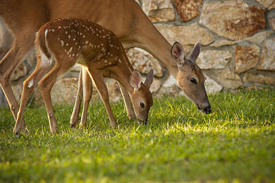 Photograph - Deer Mom by Jay Huron