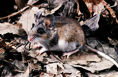 Photograph - Deer Mouse by Robert J. Erwin