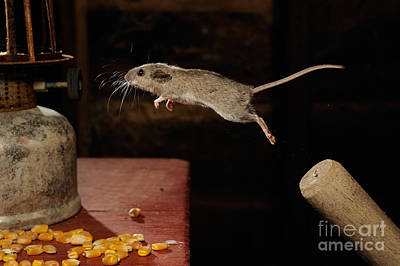 Jumping Mouse Photograph - Deer Mouse by Scott Linstead