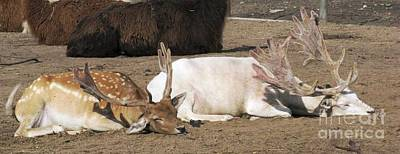 Photograph - Deer Nap by Ausra Huntington nee Paulauskaite