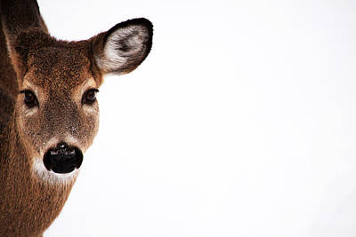 Photograph - Deer On The Side by Karol Livote