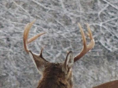 Photograph - Deer Rack by Todd Sherlock