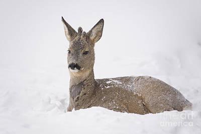 Deer Resting In Snow Art Print