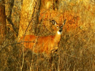 Deer Spotted In A Golden Glowing Field  Art Print by Gothicrow Images