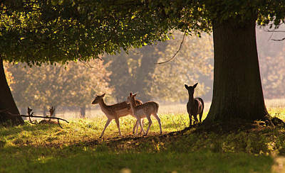 Deer Standing Under A Tree  North Art Print by John Short