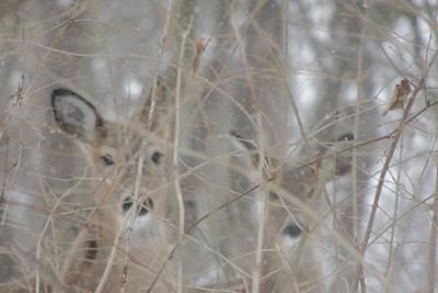 Photograph - Deer by Todd Sherlock