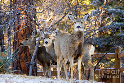 Steven Krull Royalty-Free and Rights-Managed Images - Deer Trio in Snow by Steven Krull